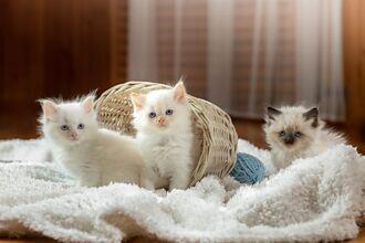 幼崽跟小主人不熟 母貓硬拉寶寶與嬰兒相處 不安盯梢萌翻