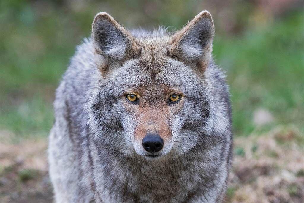 約克夏發現小主人被野狼盯上,顧不得與對方的體型懸殊,馬上跳出來保護主人。(示意圖/達志影像)