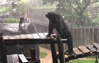 黑熊「波比」見大雨秒站起身當做SPA 享受熊生網笑翻
