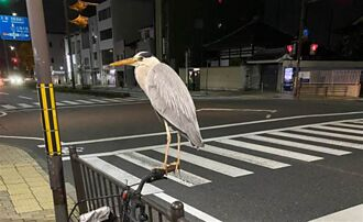 愛車停路邊被怪鳥霸佔 車主見超巨體型嚇傻:回不了家