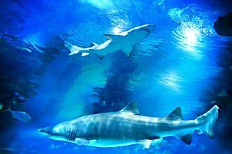 母鯊單身10年生下小鯊魚 震驚科學界:史上首例