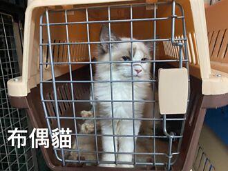 154隻走私貓被安樂死挨轟 醫嘆:若是蛇、雞愛心還會一樣嗎
