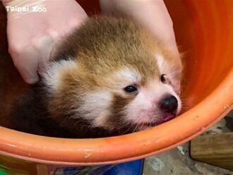北市動物園小貓熊寶寶耐不住寂寞 靠門框上等媽媽萌翻
