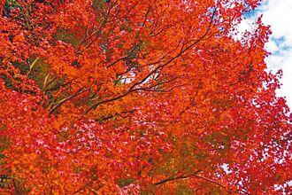 楓正紅 拉拉山福壽山擁秋色